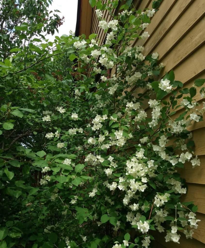 Самые красивые сорта чубушника – фото и описание
