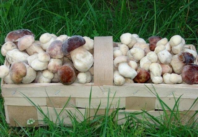 Как вырастить белые грибы дома и на даче?