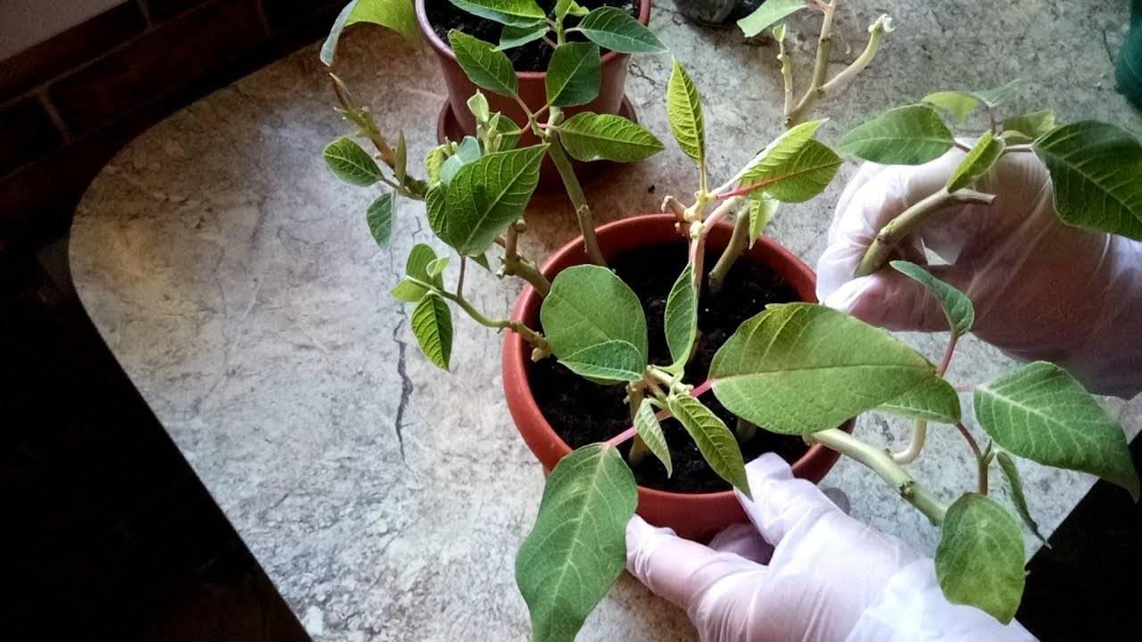 А какой сорт пуансеттии выращиваете дома вы?