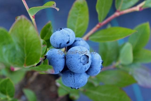 Лечебные свойства листьев черники: эффективное лекарство или просто ароматная добавка кчаю