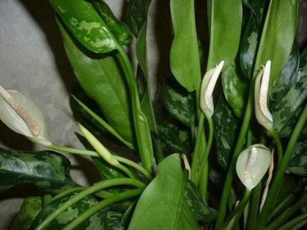 Популярные виды и сорта аглаонемы с фото — уход за растением, посадка