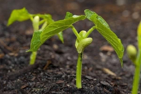 Бобы – выращивание, сорта