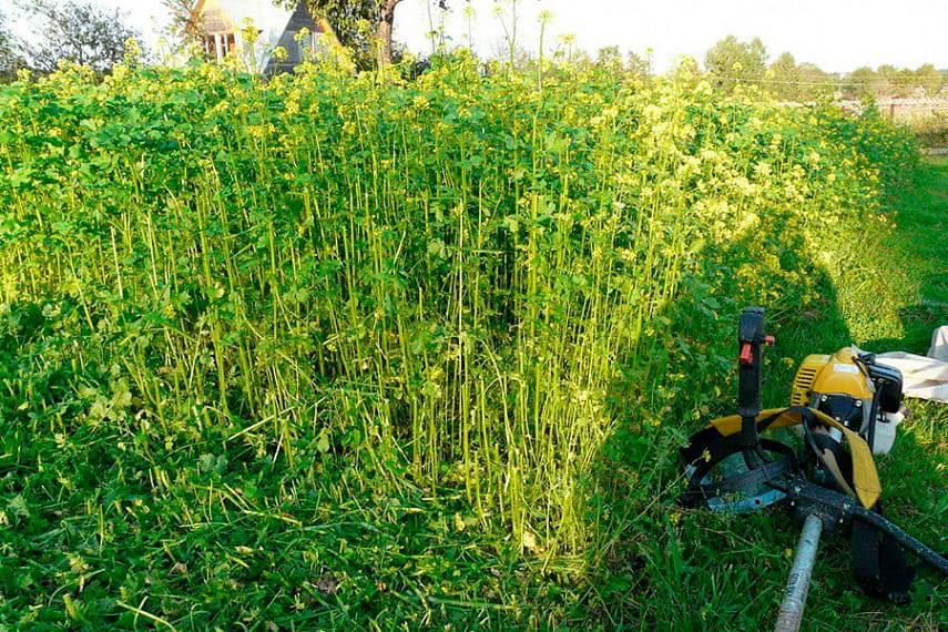 Сидераты — три группы для земледелия на даче, видео