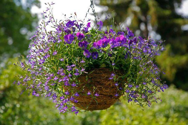 Лобелия многолетняя – яркие цветущие коврики