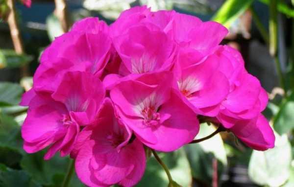 Эффективное проращивание семян пеларгонии