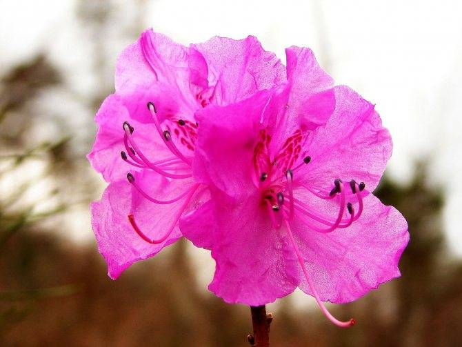 Рододендроны: как сажать и ухаживать, выбор сорта и болезни