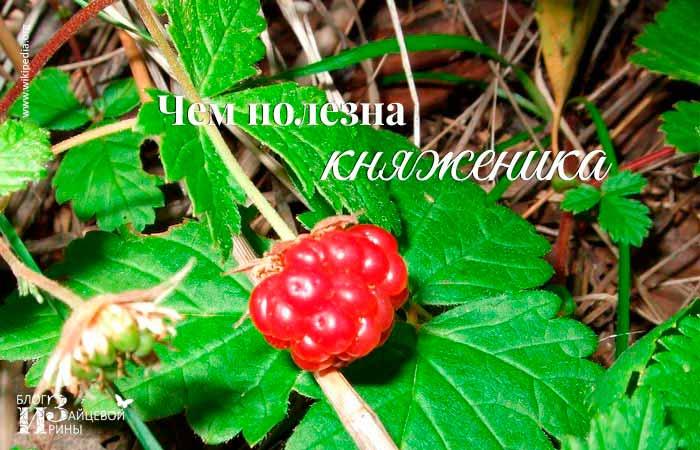 Почему не дает плодов княженика. где растет ягода княженика и что это такое