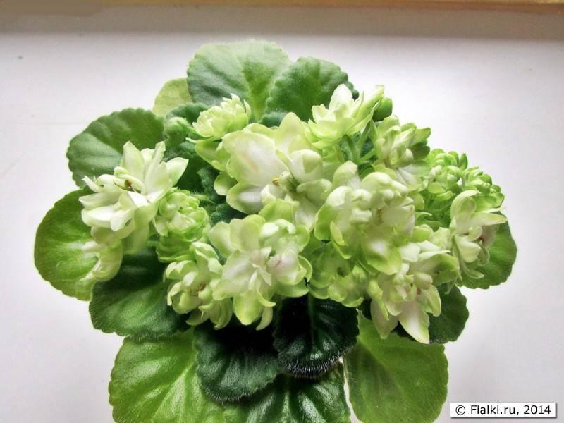 Эффектное цветение фиалки Снежный георгин