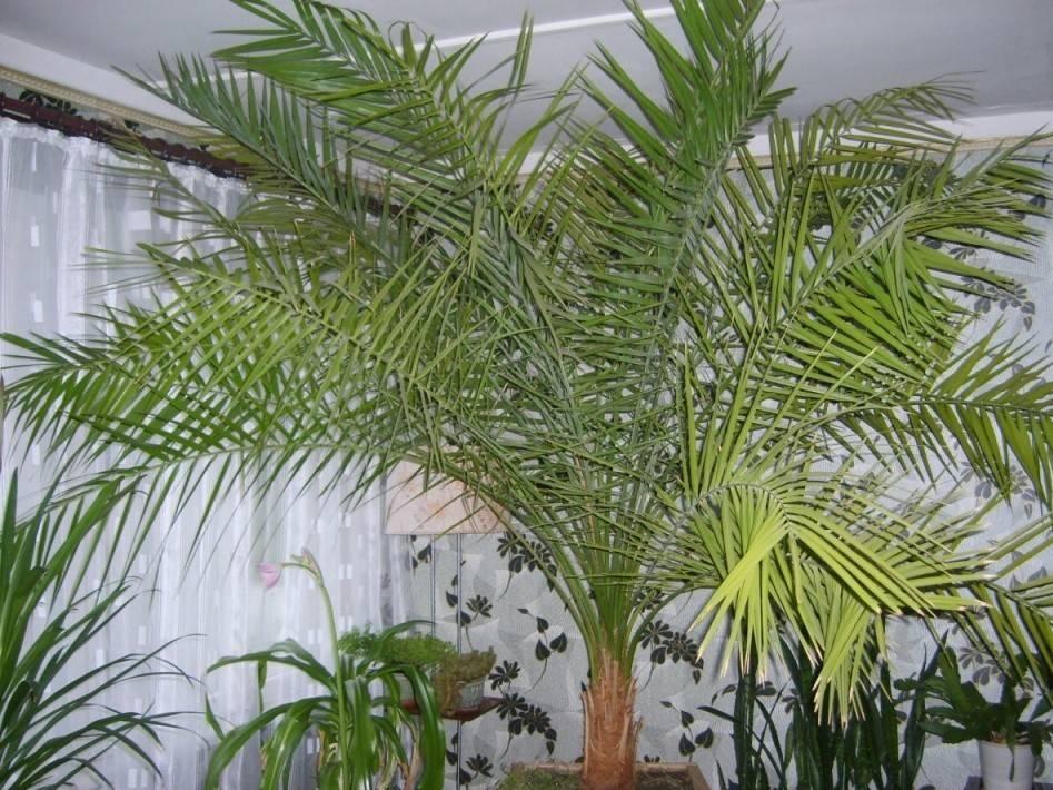 О приметах и суевериях, связанных с домашними пальмами