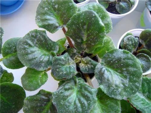 Как быть, если у петунии на листьях налет или они стали липкими, и почему это происходит?