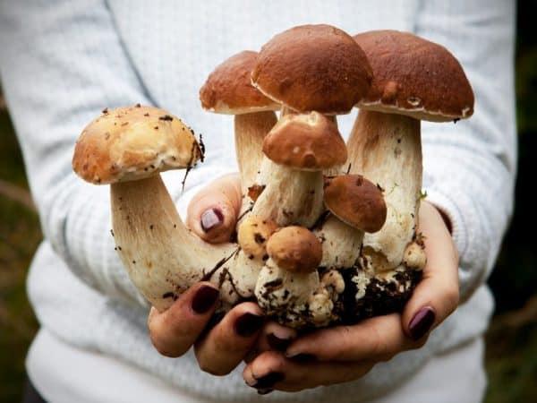 Как вырастить белые грибы в домашних условиях