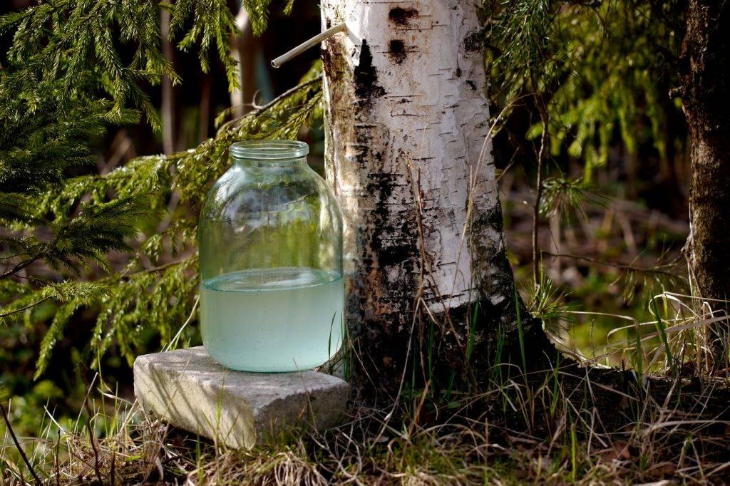 Берёзовый сок — волшебный напиток