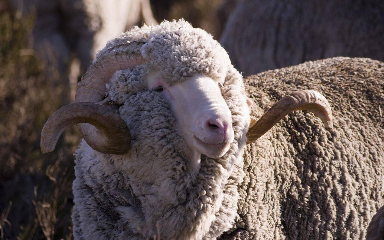 Овцы романовской породы как самый лучший вариант для начинающих овцеводов