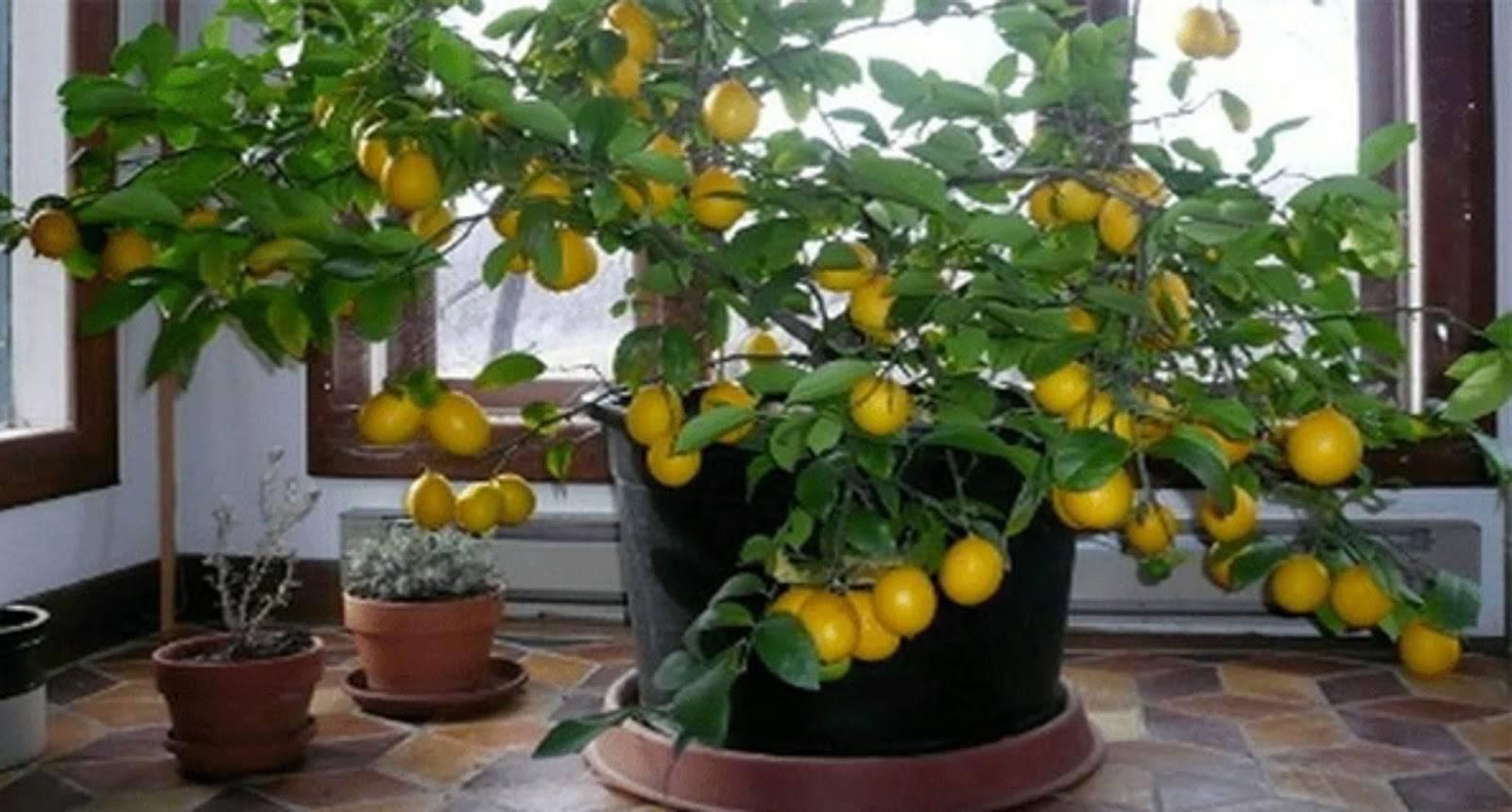 Чем лучше подкормить лимон в домашних условиях