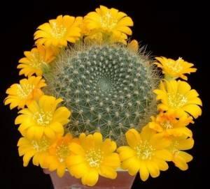 Цветение кактуса: необходимые условия в домашней обстановке