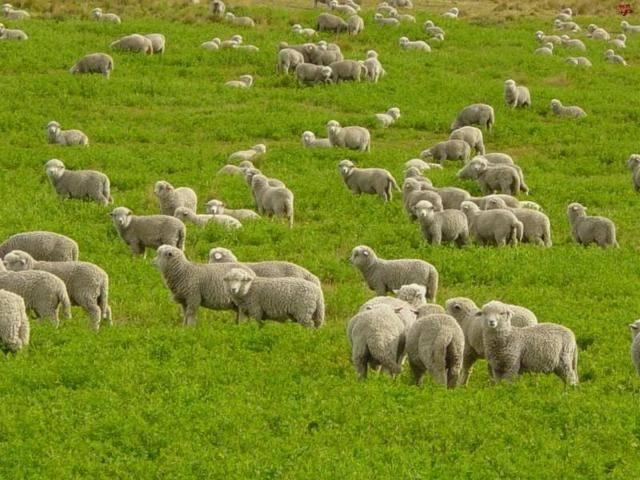 Курдючные породы овец: характеристика продуктивности, особенности разведения
