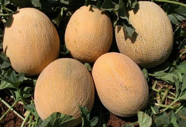 Выращивание дыни в открытом грунте семенами и через рассаду