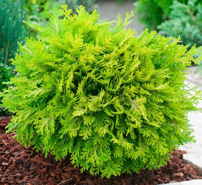 Выращивание и уход за кипарисовиком в домашних условиях
