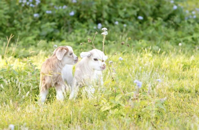 Кормление коз в зимний период