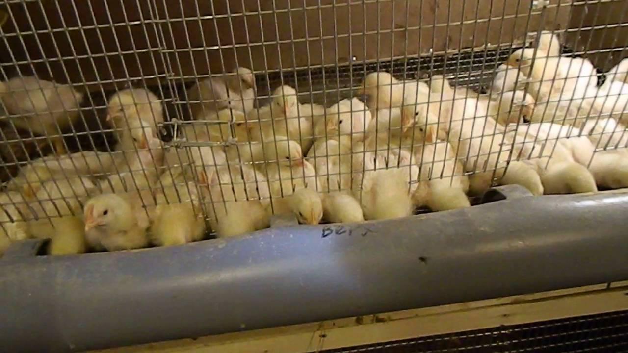 Какой должен быть брудер для цыплят?