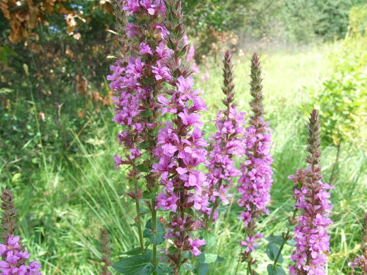 Дербенник — цветик-шестицветик в саду. фото видов с описанием