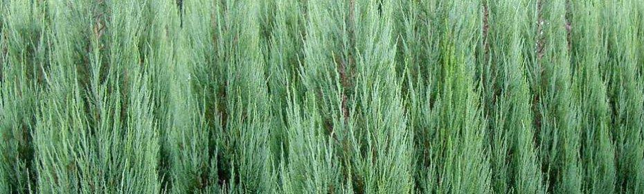 Можжевельник скальный: особенности вида, посадка, уход, размножение и выращивание в саду (85 фото + видео)