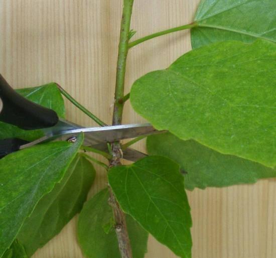 Все о размножении герани черенками. как и когда разводить растение в домашних условиях?