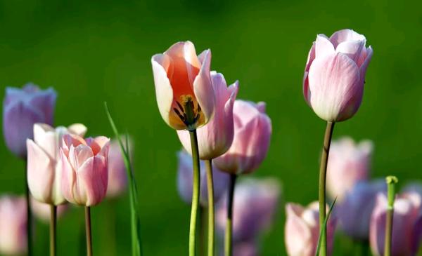 Когда выкапывать тюльпаны после цветения?