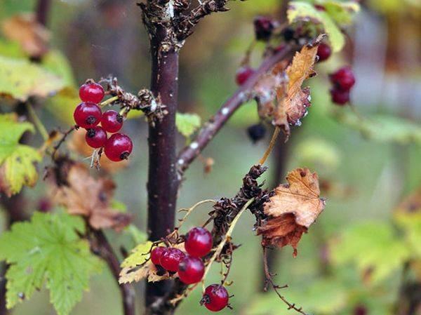 Уход за смородиной осенью: подготовка к зиме, обрезка, подкормка