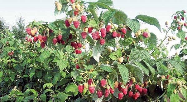 Всё, что вы хотели знать об обрезке малины летом и осенью