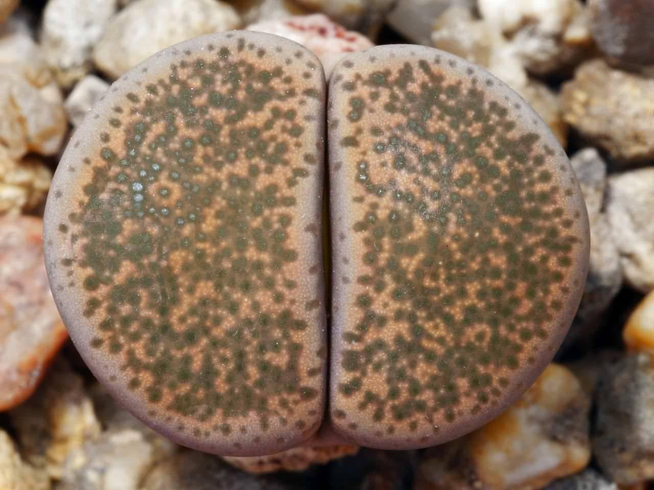 Знакомимся с удивительным растением литопс. литопсы - живые камни