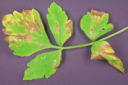 Как получить хороший урожай укропа и почему зелень желтеет? способы борьбы и меры профилактики