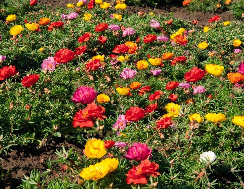 Портулак огородный фото посадка