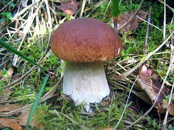 Самый большой обзор видов белых грибов