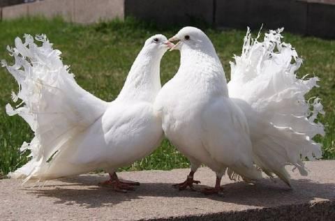 Мясные голуби: породы голубей для употребления в пищу