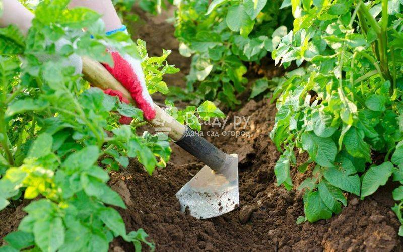 Как правильно и сколько раз поливать картофель после высадки в грунт?