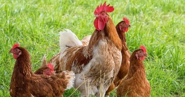 Самостоятельное выращивание цыпленка из яйца без инкубатора: особенности, способы, уход за молодняком в первые дни