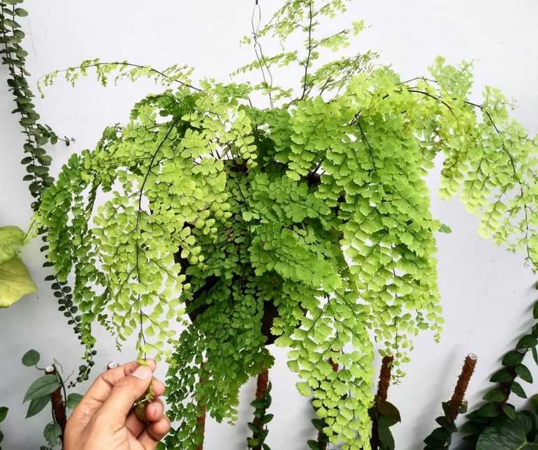 Выбираем для своего дома и сада растение адиантум
