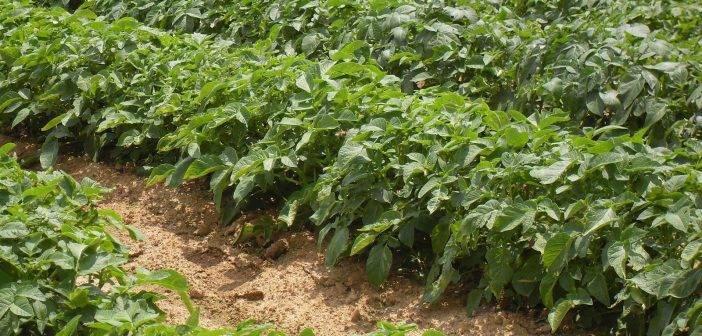 Почему желтеют листья у картофеля снизу: что делать и как лечить