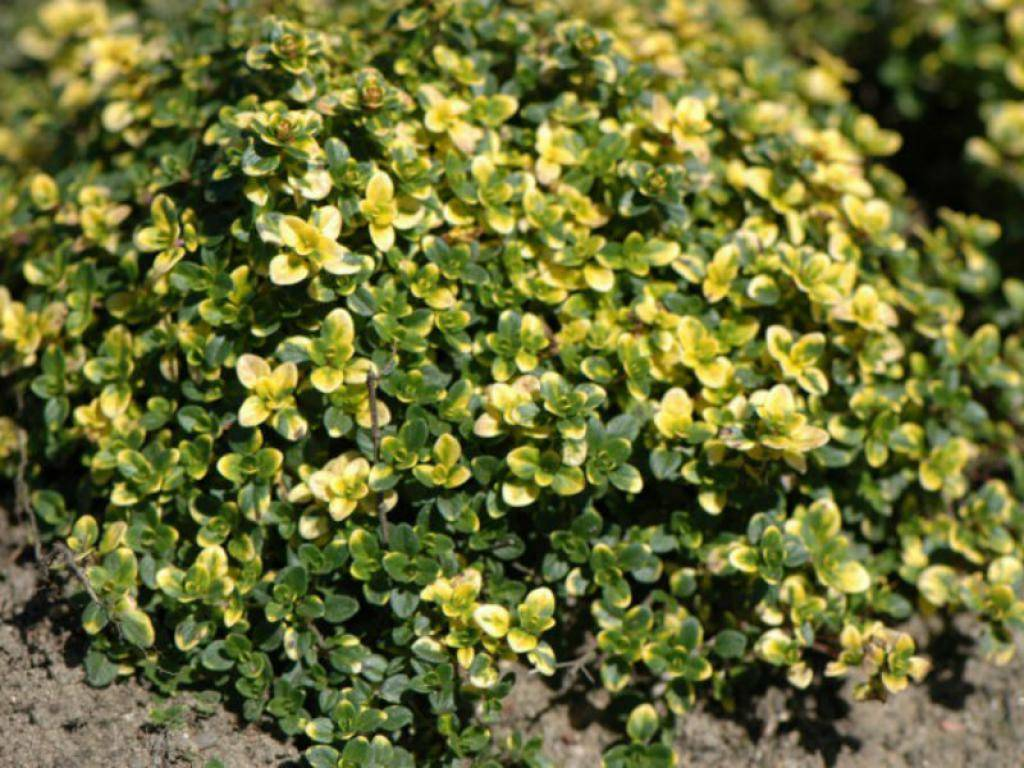 «чайный» цветник — клумба для выращивания пряных и лекарственных трав