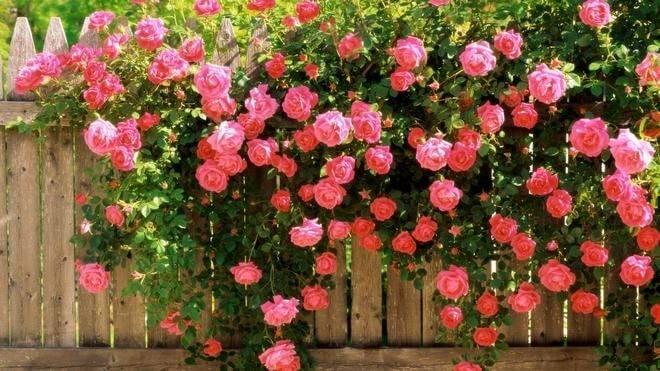 Большое руководство по подкормке роз
