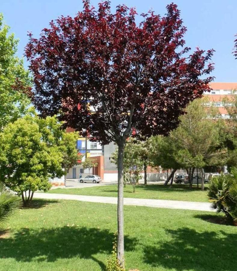 Описания сливы алыча растопыренная и ее плодов