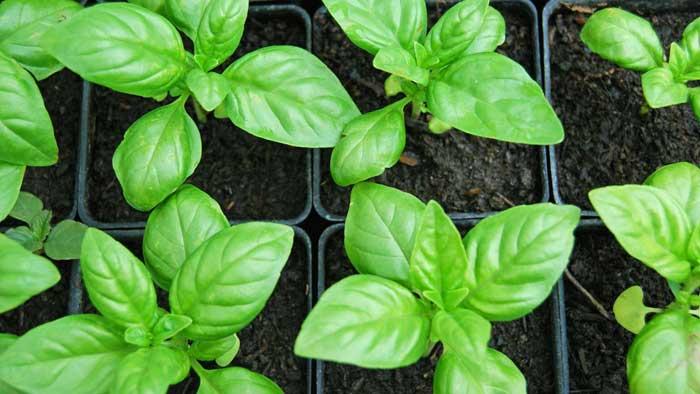 Правила и особенности выращивания базилика в открытом грунте
