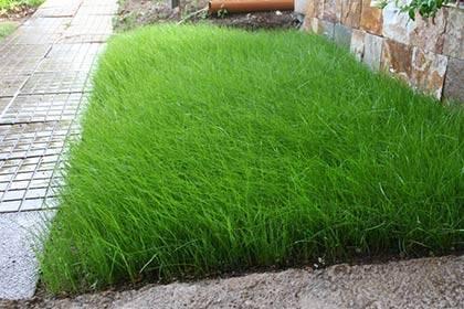 Газонные травы фото, сорта, названия и описание