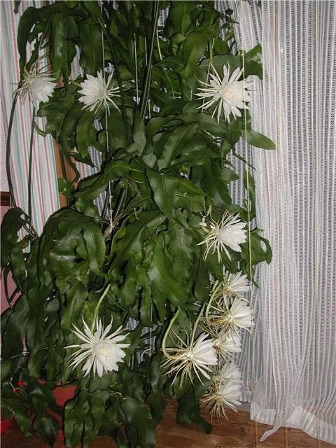 Филлокактус или эпифиллум: уход в домашних условиях, фото и правила выращивания тропического экземпляра