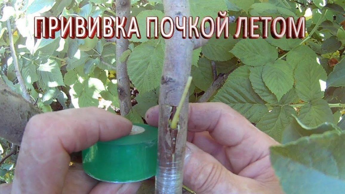 Как правильно делать прививку фруктовых деревьев