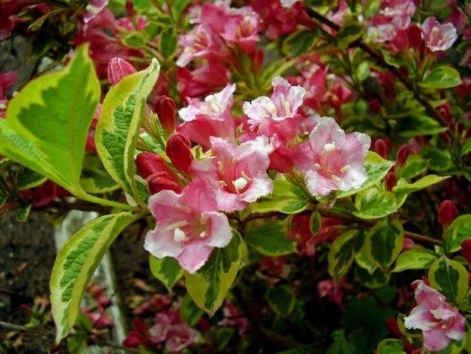 Вейгела: описание, уход и выращивание
