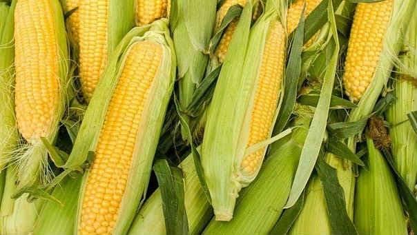 Посадка кукурузы в открытый грунт в районах подмосковья
