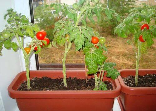 Как выбрать и как вырастить помидоры черри