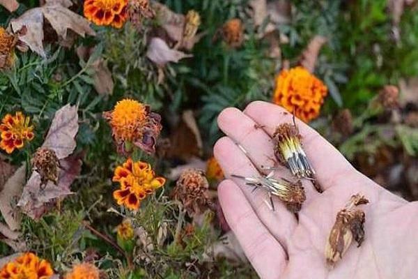 Выращиваем бархатцы и превращаем свой участок в неповторимый цветник
